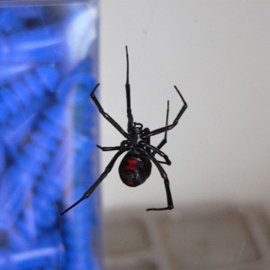 Black Widow Control