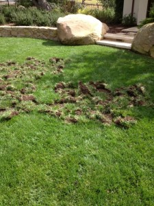 Raccoon damage to turf in search of grubs