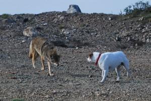 Coyote_vs_Dog-min