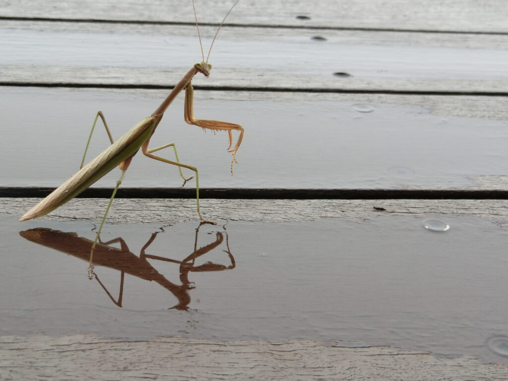 Praying mantis on decking