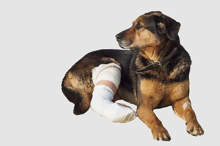 Dog Broken Bone