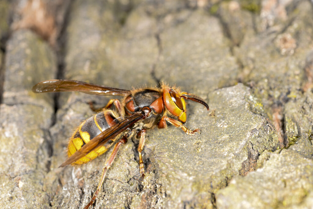 Hornet on tree bark